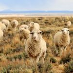 follow-herd